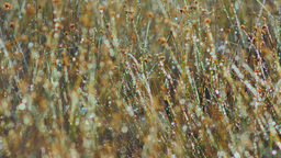 Dew drops on marsh grass Footage