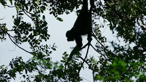 Howler monkey eating in trees Footage