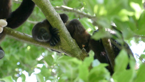Howler monkey playing with his testicles Footage