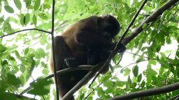 Howler monkey watching at the camera Footage