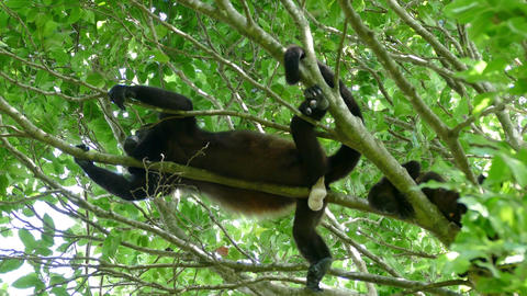 Howler monkey showing his white testicles Footage