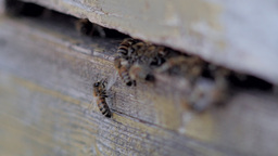 Close-up of bees entering a beehive Footage