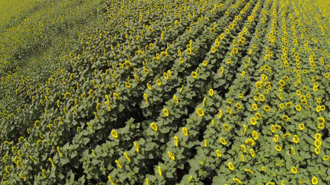 Flight over a field of sunflowers 143- Footage