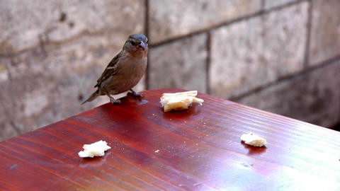 Sparrow taking a large kernel of bread on a table - one Footage