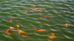 koi fish 1 Footage