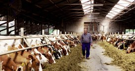 Working Senior Farmer Inspecting Red And White Red Holstein Cows Netherlands stock footage