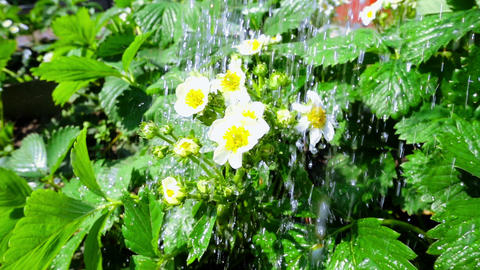 Irrigation of flowers in super slow motion Footage