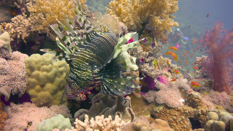 Diving in the Red sea near Egypt. Lionfish, gracefully floating over a coral ree Footage
