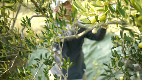 Harvesting day on olive tree plantation Footage