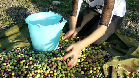 Woman pouring olives in bucket Footage