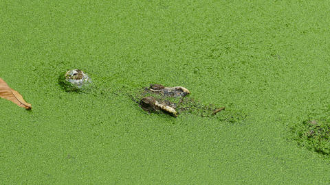 crocodile floating in lake among green slime Footage