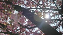 Pink Cherry Blossom Prunus Serrulata Kanzan