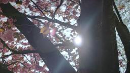 Pink Cherry Blossom Prunus Serrulata Kanzan 0