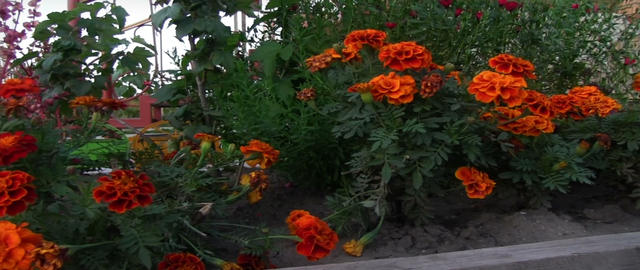 Marigold Footage