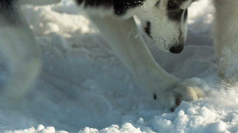 Siberian husky digs snow sled dog at snowy winter Live Action