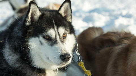 Siberian husky sled dog at snowy winter Live Action