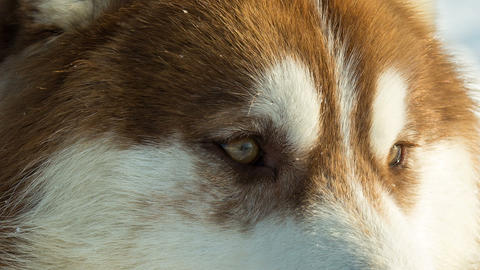 Siberian husky close up eyes sled dog at snowy winter Live Action