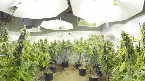Steadicam Motion Through Marijuana Plants with Buds at Indoor Cannabis Farm Live Action