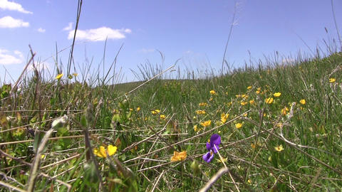 Alpine meadows with short grass and yellow and orange flowers beaten by wind 05 Footage