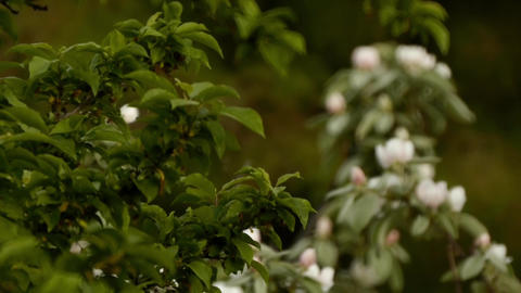 Apple branches with leaves and flowers in morning rain 22 Footage
