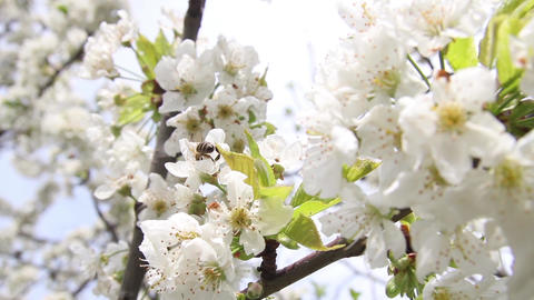 Bee looking for pollen from white flowers of apple 9791b Archivo
