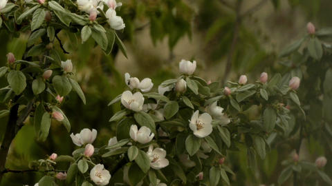 Apple branches with leaves and flowers in morning rain 24h Footage