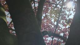 Pink Cherry Blossom Prunus Serrulata Kanzan 2