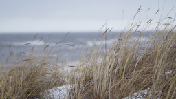 Thin beach-grass waving in wind during a winter storm Footage