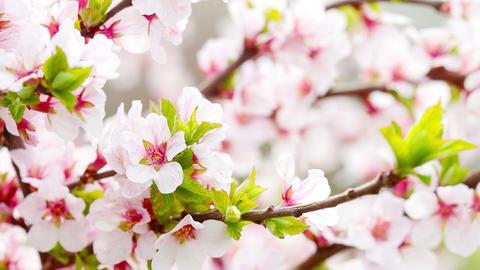 pink cherry flowers blooming in springtime. 4K. FULL HD, 4096x2304 Footage