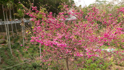 Sakura tree become to flowering, pink crown around view Footage