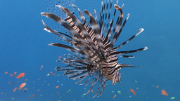 Elegant And Graceful Lionfish Over Coral Reef In The Red Sea Near Egypt stock footage