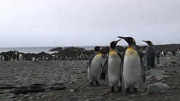King Penguins (Aptenodytes patagonicus) on beach Footage