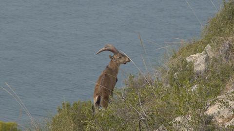 male Iberian ibex Footage