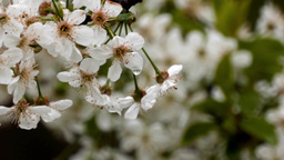 Bouquet of cherry blossoms in the evening rain 16 Footage