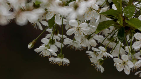 Bouquet of cherry blossoms in the evening rain 17 Footage