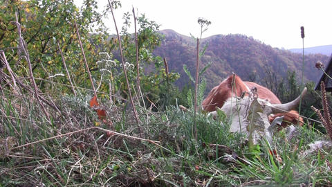 Brown cow grazing at the edge of the road on a mountainous coast 38 Footage