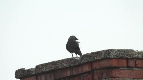 Crow looks on a tall brick chimney 482b Footage