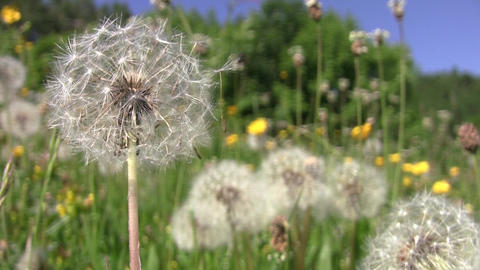 Dandelion fluff and yellow flowers in the warm summer wind 92 Footage