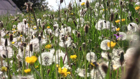 Dandelion fluff and yellow flowers in the warm summer wind and a barn abandoned Footage