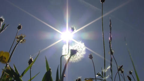 Sun seen through the fluff of dandelions 84 Footage