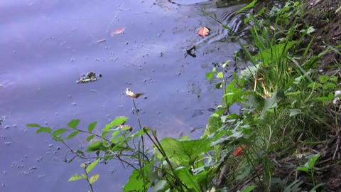 Water snake swimming along the shore with abundant vegetation 21 Footage