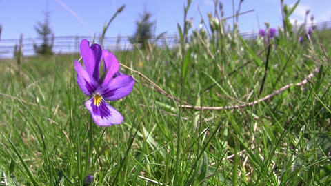 Purple flowers beaten by the wind on a mountain pasture 12 Footage