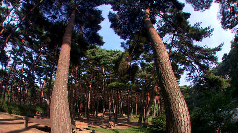 Pine Tree In Taean-gun, Korea stock footage