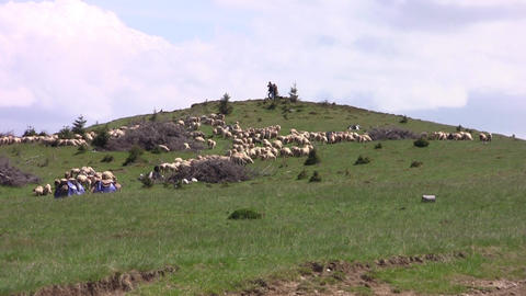 Sheep on a mountain pasture overseen by two shepherds supported in bats 13 Footage