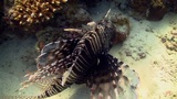 African lionfish on Coral Reef, Red sea Footage
