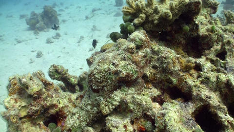 Stonefish on Coral Reef, Red sea Stock Video Footage