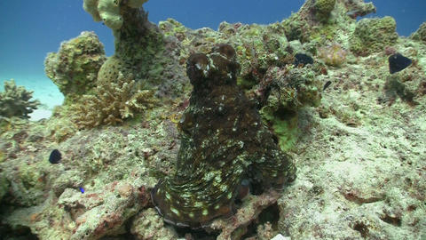 Octopus on Coral Reef, Red sea Stock Video Footage