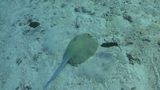 Blue Spotted stingray swims on the coral reef, Red sea Footage