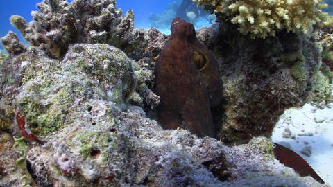 Octopus Steals Video Camera, Coral Reef Red Sea Stock Video Footage
