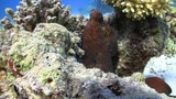 Octopus Steals Video Camera, Coral Reef Red Sea Footage